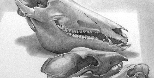 Scott Hutchison's graphite drawing - Boar Dog Fox - Thumbnail
